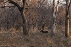 Warthog in the bush