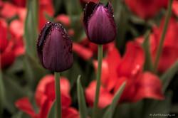 Tulips catching the rain