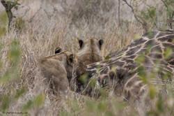 lioness tearing apart a giraffe