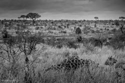 Savanna in black&white