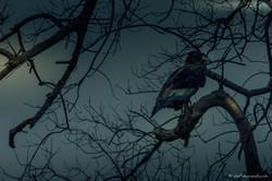 Hawk at evening