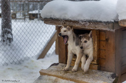 Two little sled dogs