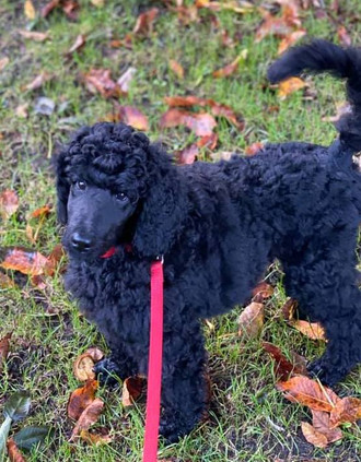 """We are halfway our puppy training with Magda for our Toulouse. Toulouse is a poodle and can be quite wild at times. The classes are really very professional and Toulouse gets the point very quickly. For Toulouse it is all a big playing event, but meantime she learns such a lot. We are all very happy Maddie is teaching her! Also, that way we avoid going to a big group of pups that cause distraction and not even possible or adviced these days. Lots of thanks Magda!"" Elizabeth S."