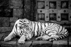 White tiger guarding a temple door