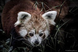Red panda looking for a meal