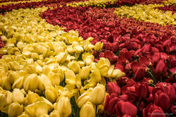 Flow of yellow and red tulips