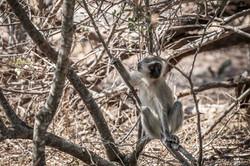 Vervet monkey on a broken branch