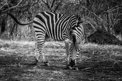 Grey portrait of Burchell's Zebra