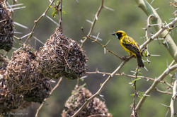 Southern Masked-Weaver builds the home