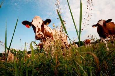 Kühe auf der Wiese