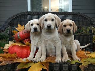 Beautiful puppy trio