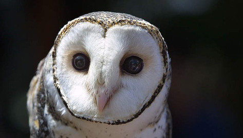 A-four-year-old-masked-owl-Sandy-Schelte