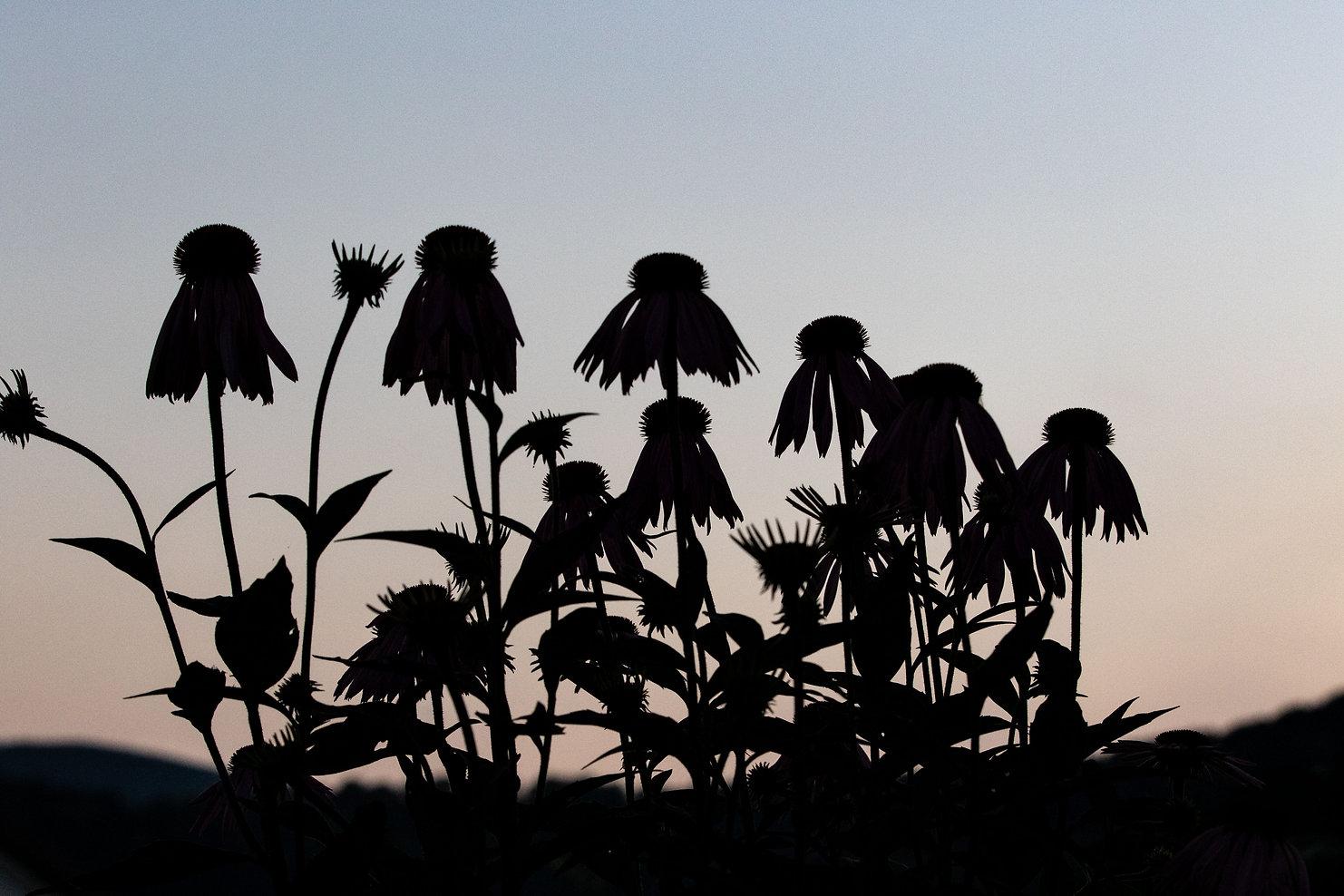 Flower Silhouette-1.JPG