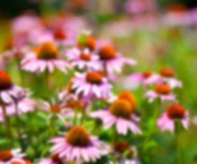 Phytotherapy Echinacea
