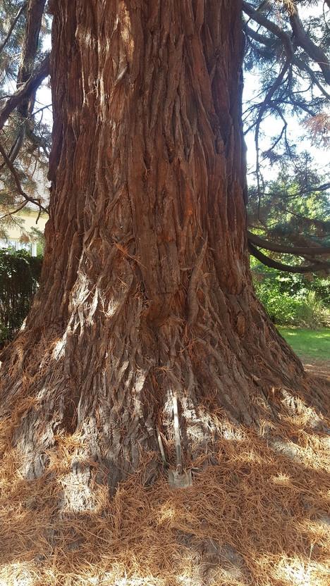 n°96 | Séquoia géant
