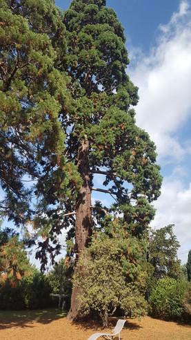 n°97 | Séquoia géant
