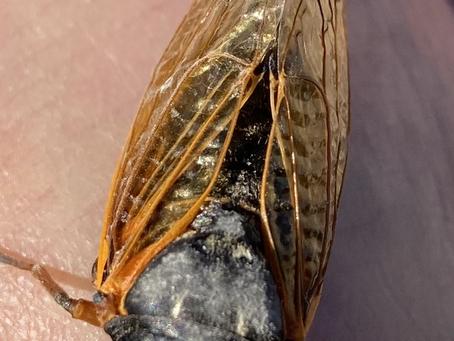 Sing On, Cicadas!