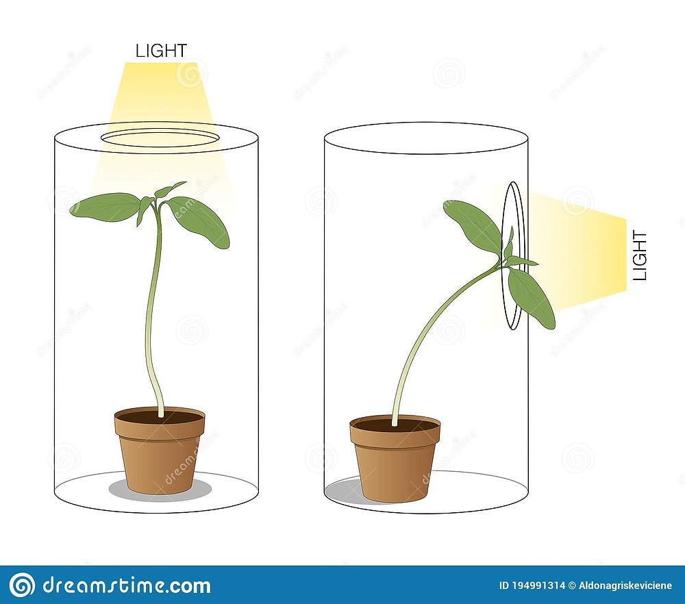 Phototropism is when plants lean toward light.