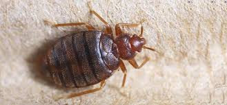 What are Bed Bugs ?