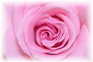 winter_rose.jpg