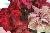 winterrose2.jpg