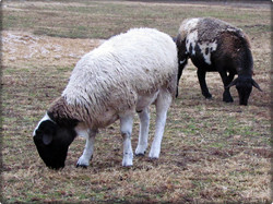 Grazing Hair Sheep