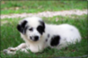 Black and White Great Pyrenees Puppy