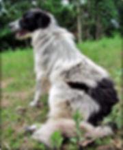 Shepherd Sit.JPG