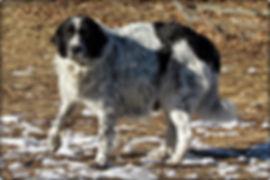 1.18.18 Shepherd Pregnant by Lakota 2nd.