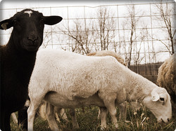 Black and White Hair Sheep