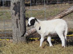 Hair Sheep Lamb
