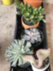 Succulents - coral cactus, echeveria runyonii topsy turvy, echeveria perle von nurnberg, crassula ovata gollum jade aka shrek plant