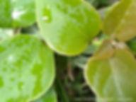 tiny pink magenta fuchsia bougainvillea