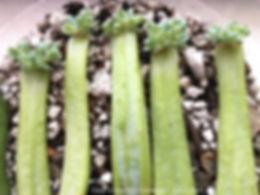 succulent echeveria runyonii topsy turvy dry propagation progress 54 days switch to soil propagation in tray