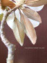 southern magnolia flower branch bac leaf detail
