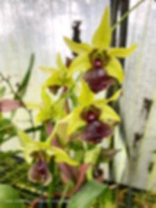 cascading yellow green dendrobium orchids in clown alley orchids greenhouse