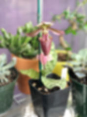 paphiopedilum superbiens lady slipper ochid in pot outside on a dish of pebbles