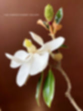 southern magnolia flower branch