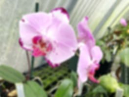 purple cascading phalaenopsis orchis in clown alley orchids greenhouse
