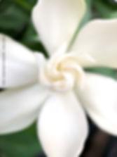 frost proof gardenia cener spiral petals closeup - macro shot