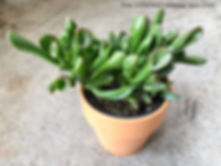 "crassula ovata ""gollum jade"" aka ""Shrek plant"""