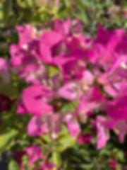 variegated pink bougainvillea close.JPG