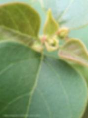 pink fuchsia magenta bougainvillea buds.