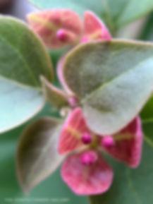 blooming pink fuchsia magenta bougainvil