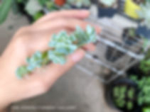 """Succulent Dry Propagation progress 18 days - Echeveria """"Topsy Turvy"""" baby with roots"""