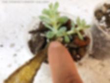 succulent echeveria runyonii topsy turvy dry propagation progress 54 days dried leaf baby potting