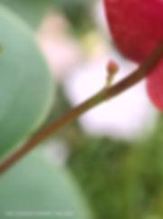 pink fuchsia magenta bougainvillea bud.J