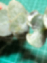 gunni eucalyptus leaf detail