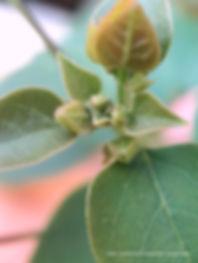 pink magenta fuchsia bougainvillea buds.