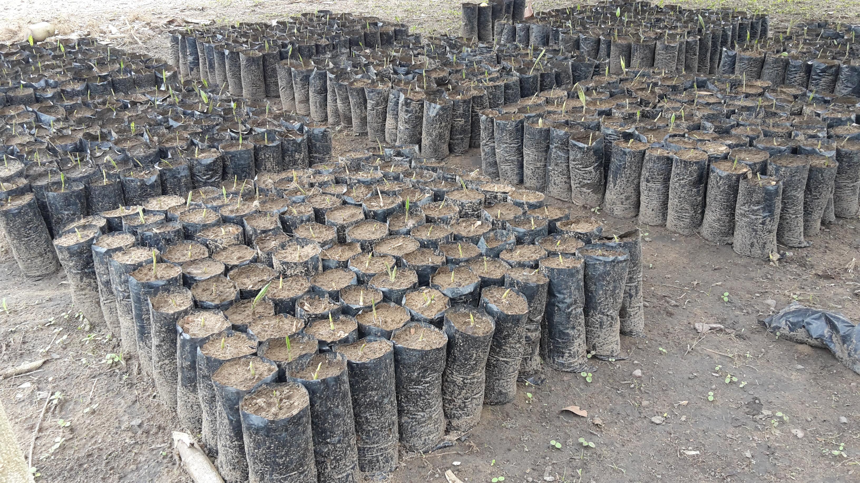 Pépinière de palmiers
